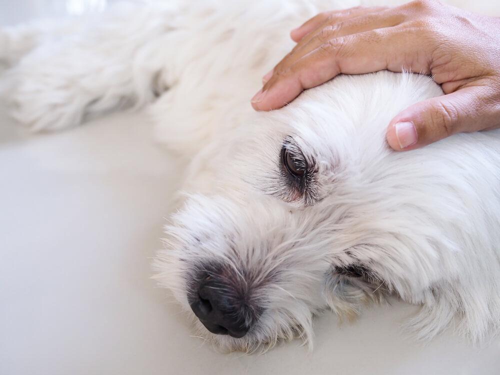 Epilepsija pri psu - včasih brez vzroka, drugič kot posledica bolezni
