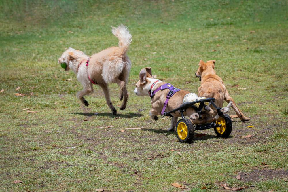 Tudi invalidni psi lahko živijo kakovostno in srečno življenje