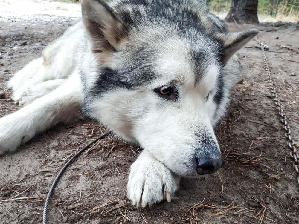 Izbira psa na podlagi videza ali koliko polarnih psov je zavrženih zaradi Game Of Thrones