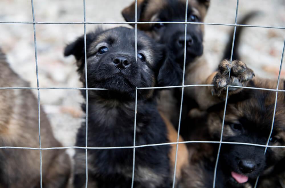 Madžar skozi Slovenijo tihotapil 17 pasjih mladičev