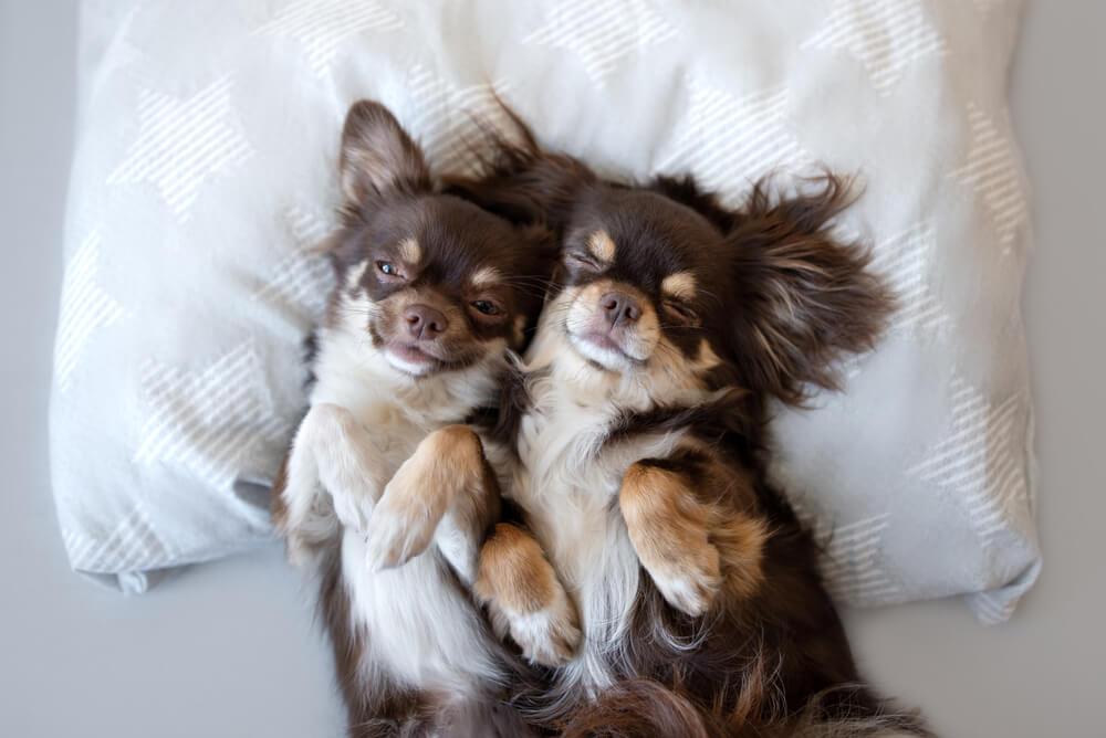 10 najbolj lenih pasem psov