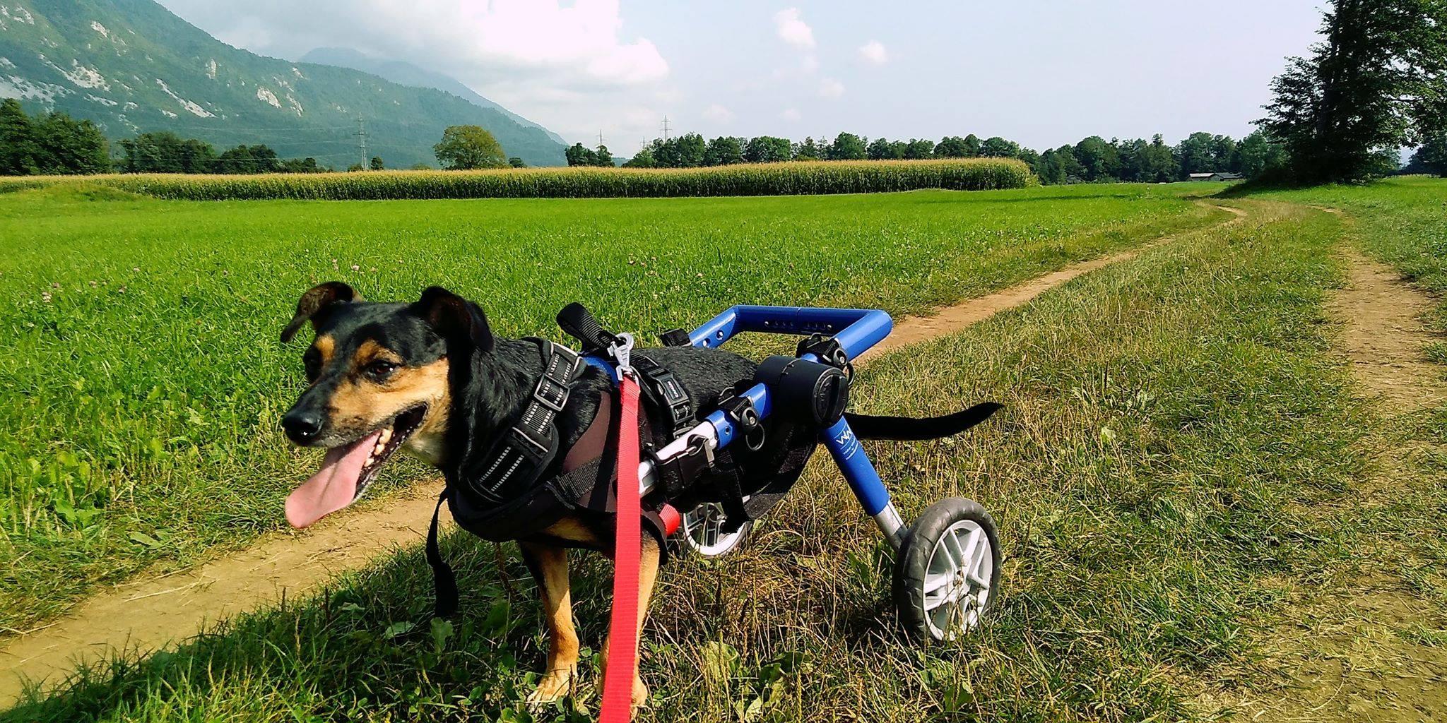Majkijeva zgodba: invaliden najden v jarku, danes pa srečen in razigran kužek