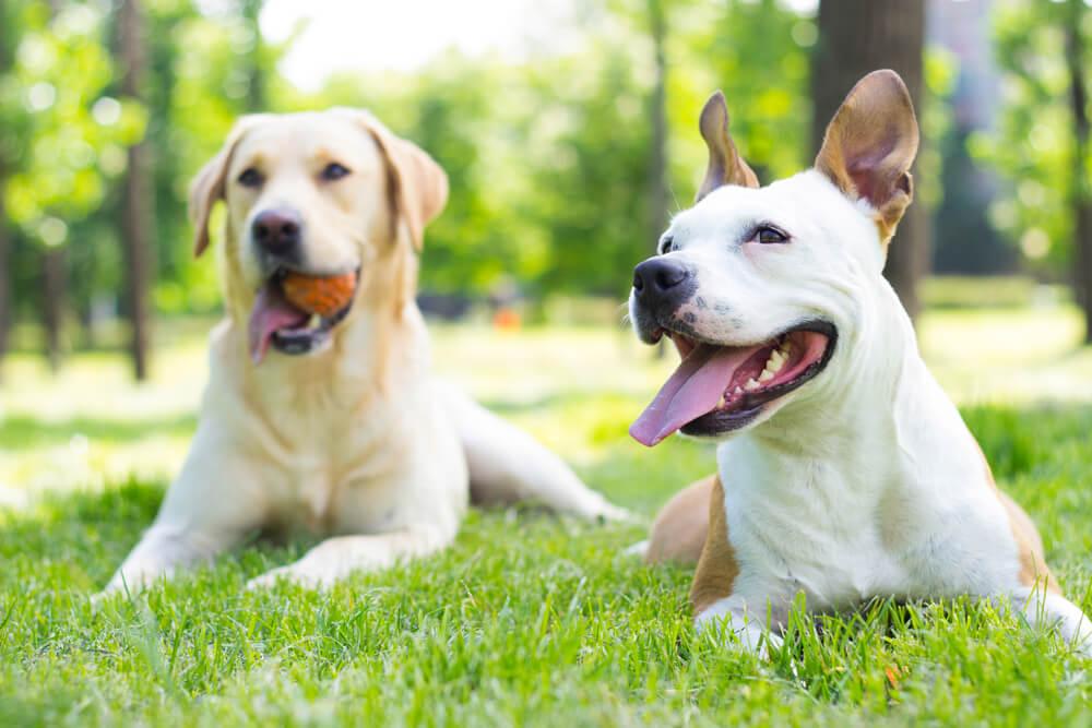 7 pasem psov, ki se najbolje razumejo z drugimi psi