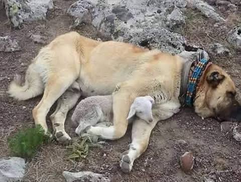 Ovčka se je z objemom zahvalila psu, ki jo je rešil pred napadom volka