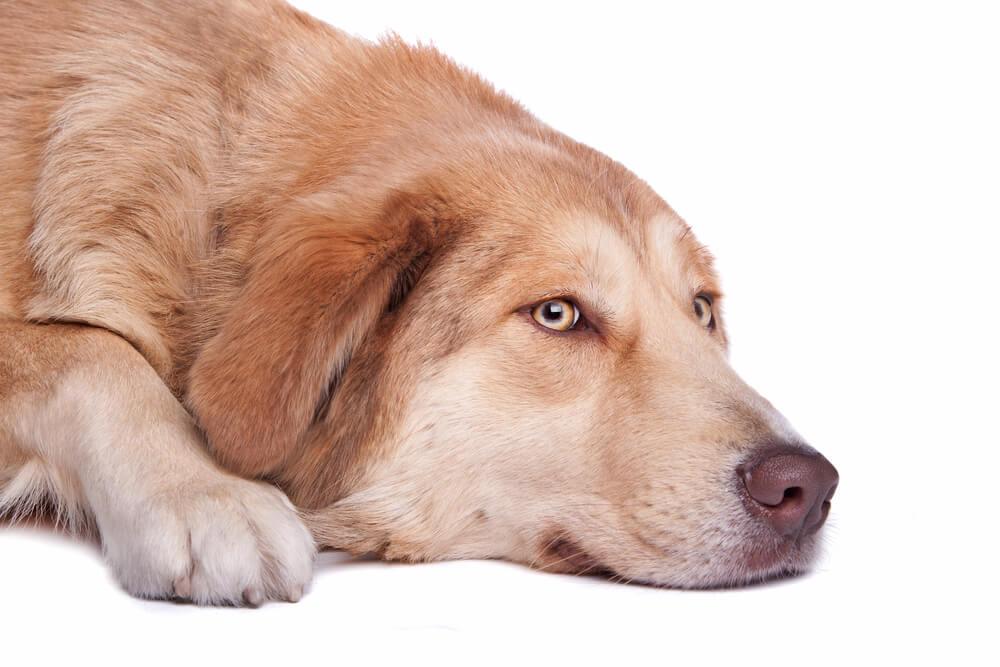 Najbolj redki psi v Sloveniji: 34 pasem, ki ima le po 1 predstavnika
