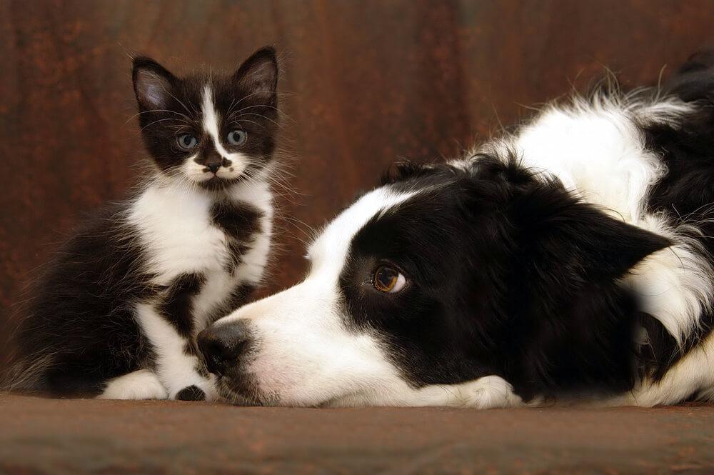 Pasme psov, ki se najbolje razumejo z mačkami