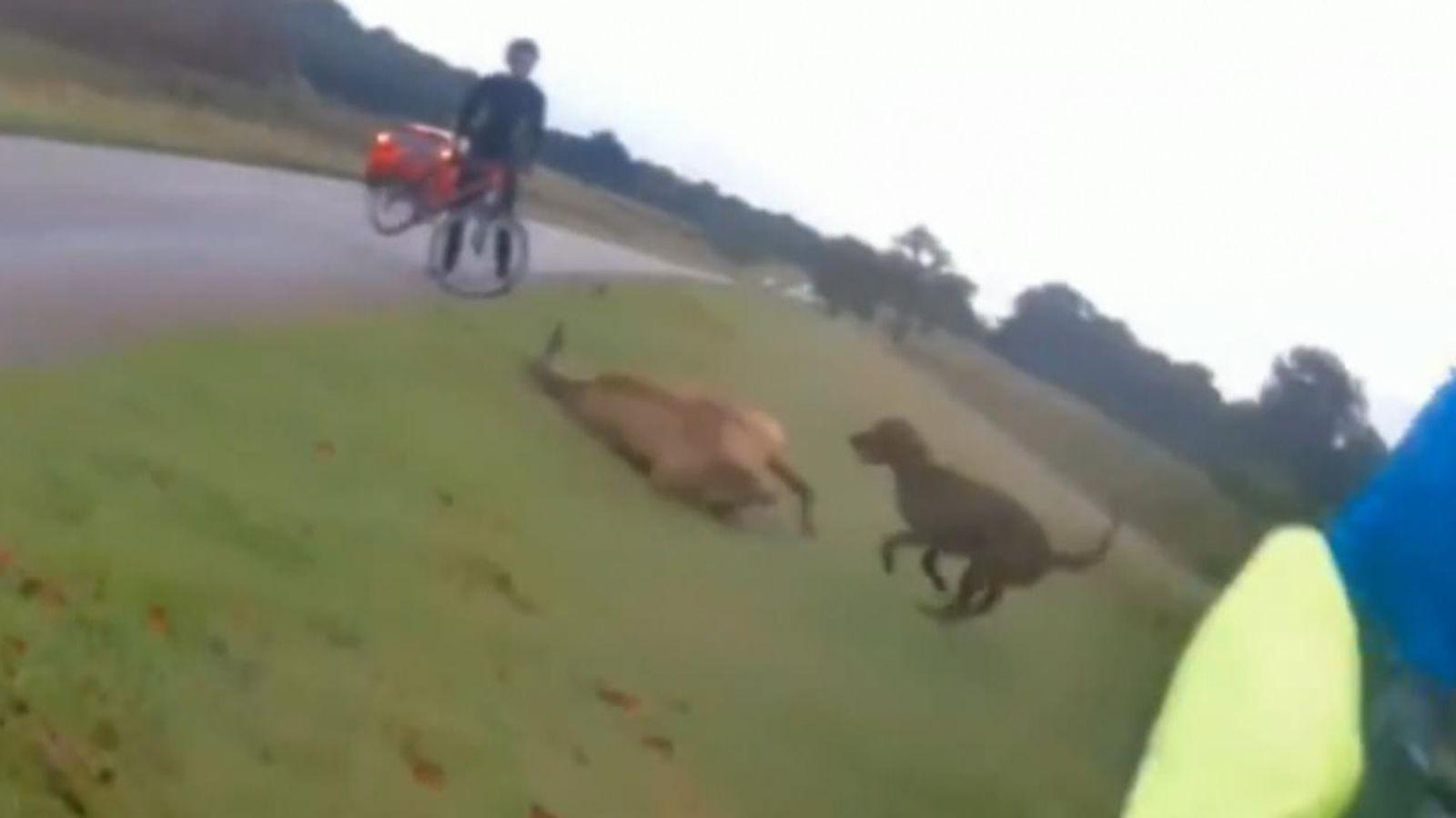 Moški kaznovan s 670 evri kazni, ker je njegov pobesneli pes v parku napadel jelena