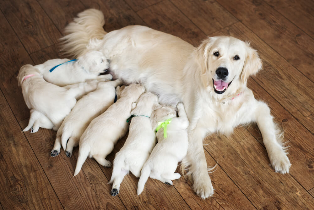 Vsaka psička mora imeti naraščaj - resnica ali mit?