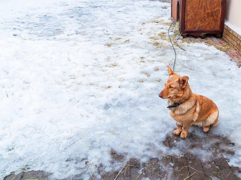 Psi na verigi so za mraz še bolj dovzetni, saj običajno niso v tako dobri kondiciji