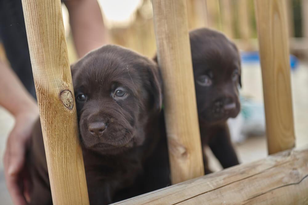 Policija rešila 80 ukradenih psov, med njimi veliko mam z mladički