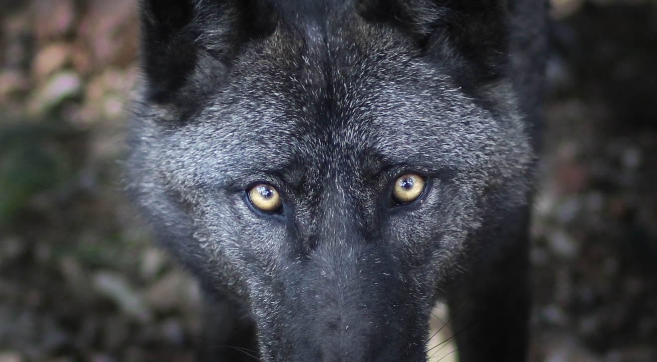 Volčji psi – marsikdo bi jih rad vzgajal kot pse, toda to niso psi