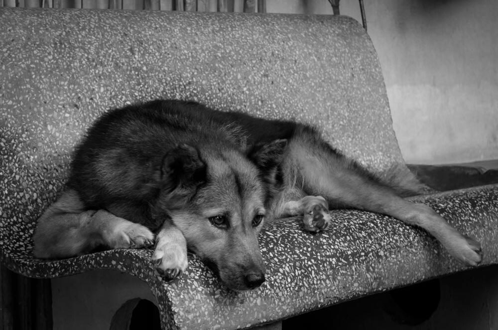 Zvesta psička bolnega lastnika vsak dan hodila čakat pred bolnišnico