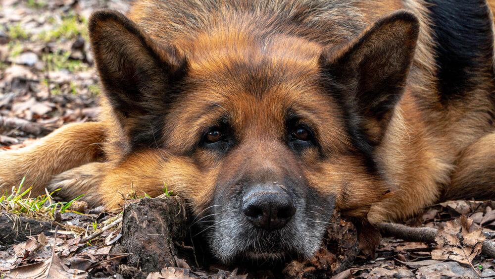 Nemški ovčar prišel iz groba, potem ko so ga lastniki kar sami uspavali in živega pokopali