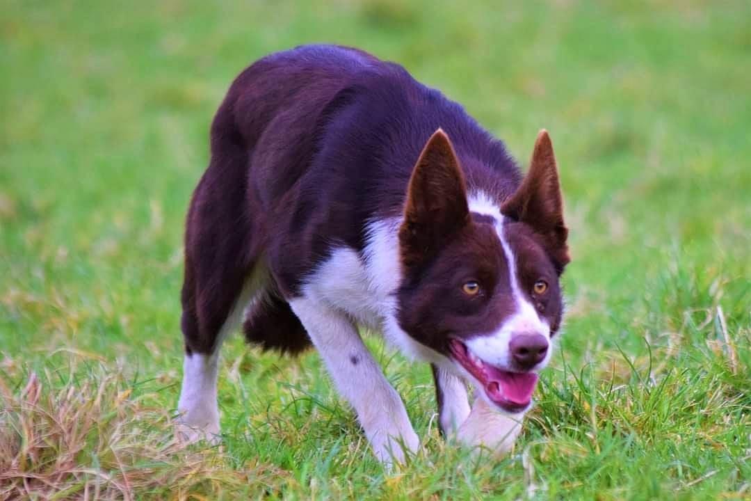 Svetovni rekord: Ovčarska psička Kim prodana za 31.000 evrov
