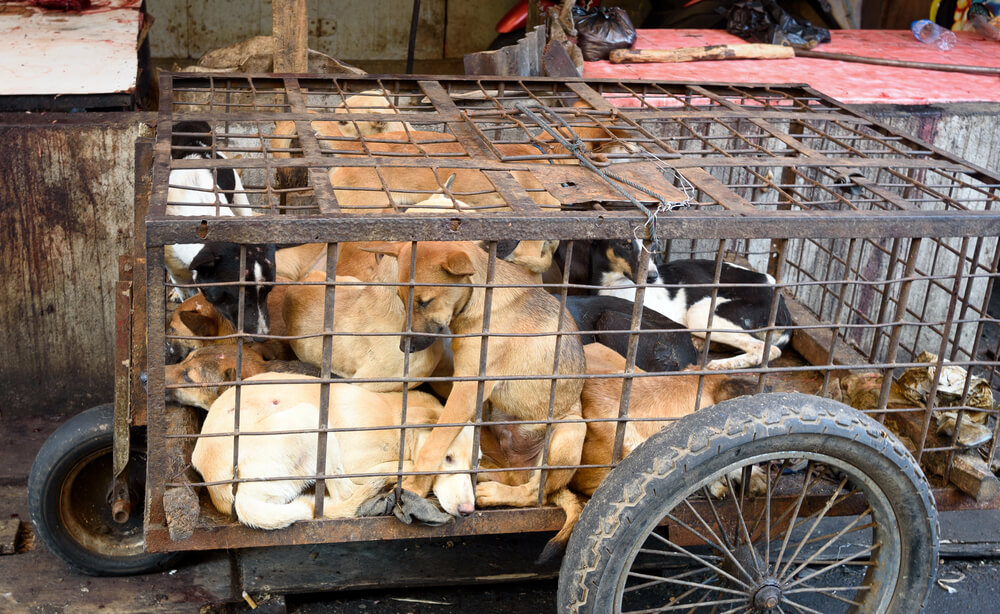 V Kambodži prestregli tovornjak 61 psov, ki so bili na poti v mesnico