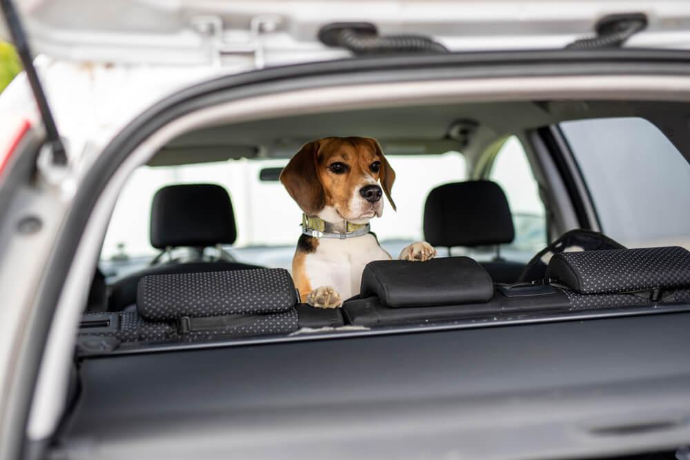 Kakšna pravila veljajo za potovanja v Veliko Britanijo s hišnimi ljubljenčki po izstopu iz Evropske unije