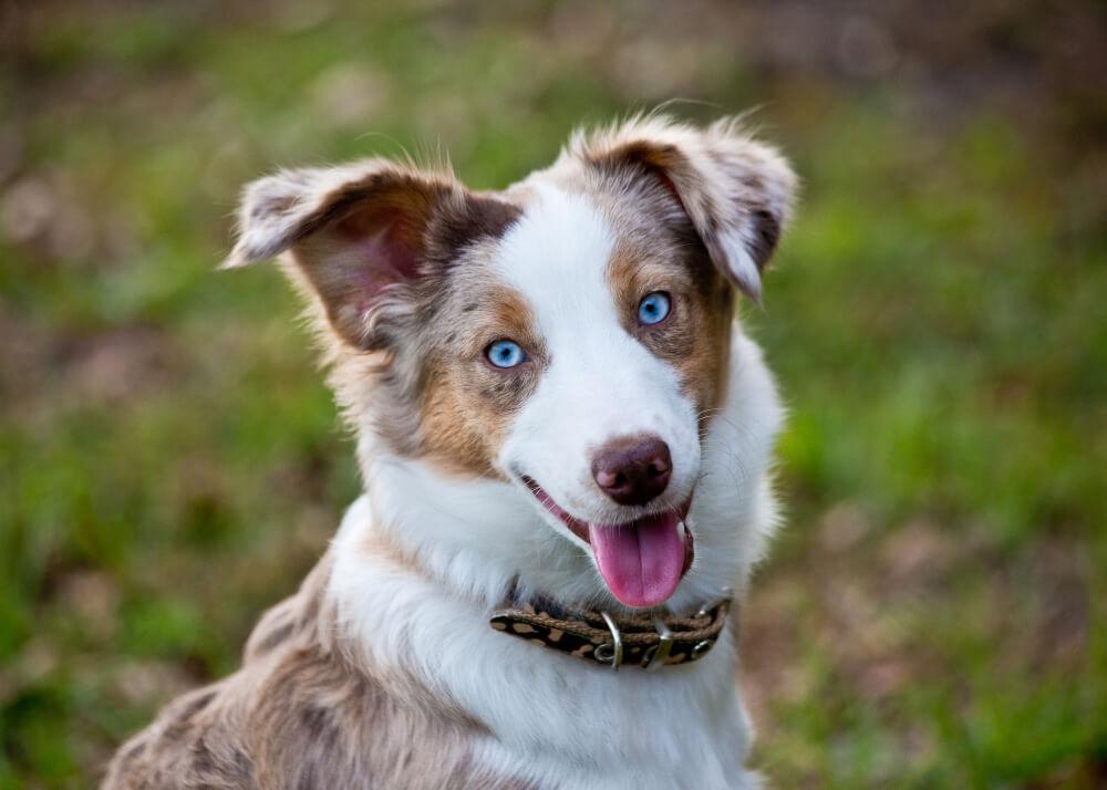 7 pasem psov z modrimi očmi