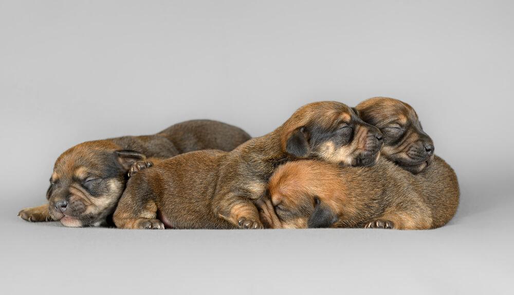 Rodovniška vzreja – bolj zdrav pes?