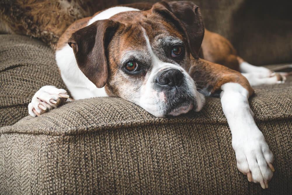 Življenje s pasjim seniorjem – majhne prilagoditve za večjo kakovost bivanja