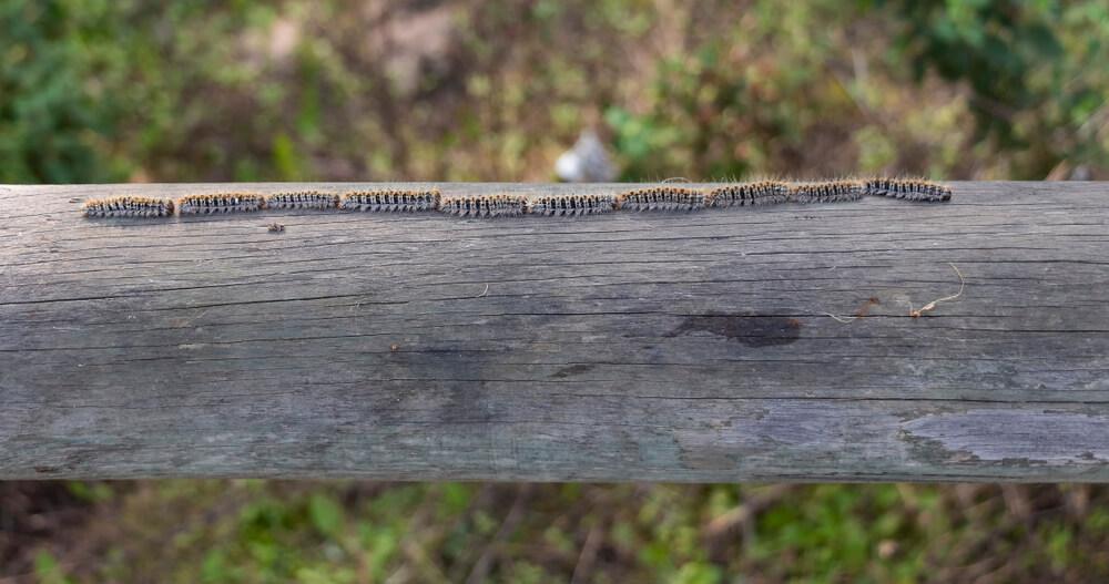 Gosenice sprevodnega prelca so lahko za pse tudi smrtno nevarne