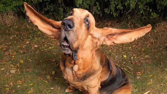 Najdaljša pasja ušesa vseh časov: 34,9 centimetra
