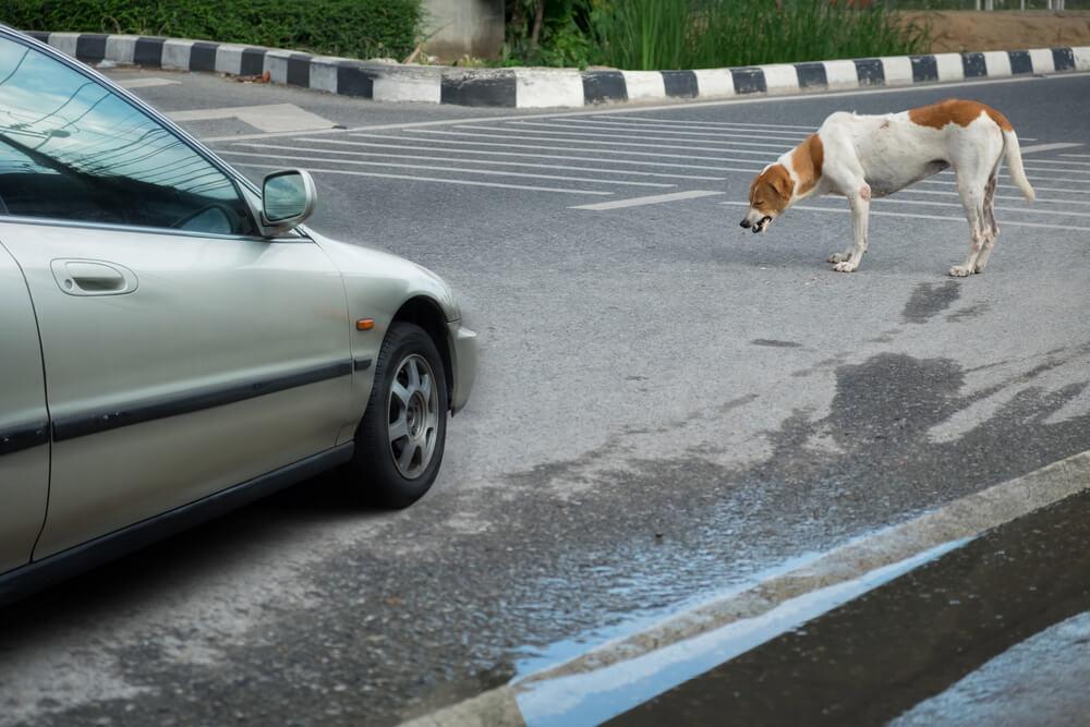 Potem ko je skrbnica doživela napad, psička ustavila promet in ji rešila življenje