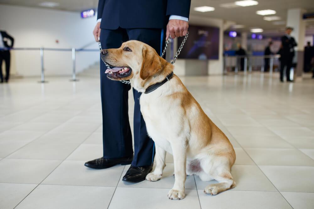 Na Tajskem psi kar 95 % uspešno zavohajo koronavirus
