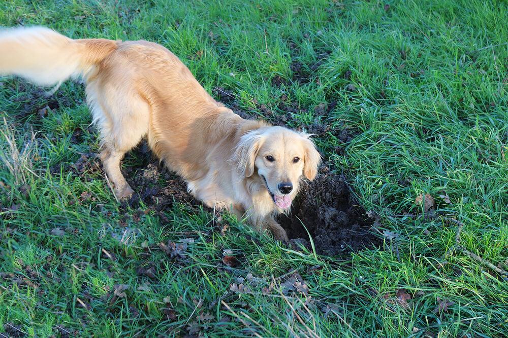 Zakaj naš pes koplje luknje?