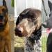 Trije policijski psi iščejo dom